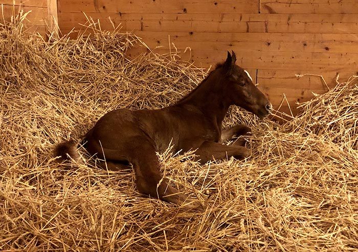 foreversnow foal newborn